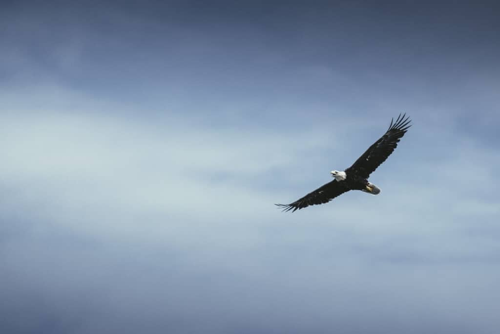 Bald Eagle Flying Over Lake With Overcast Sky In Background