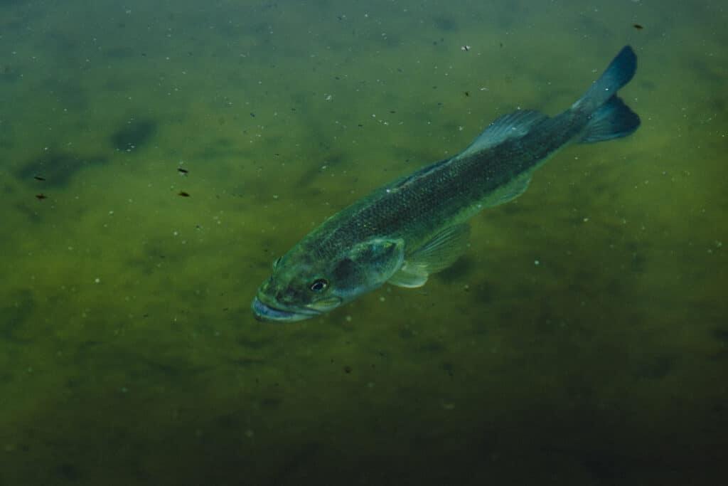 Largemouth Bass Swimming